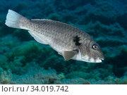 Купить «Parrotfish (Sparisoma cretense) male, Tenerife, Canary Islands.», фото № 34019742, снято 10 июля 2020 г. (c) Nature Picture Library / Фотобанк Лори