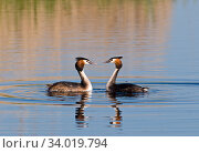 Купить «Great crested grebes (Podiceps cristatus) pair displaying, Norfolk, England, UK, April.», фото № 34019794, снято 4 августа 2020 г. (c) Nature Picture Library / Фотобанк Лори
