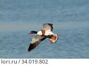 Купить «Common shelduck (Tadorna tadorna) male in flight, Titchwell, Norfolk, England, U, March.», фото № 34019802, снято 5 августа 2020 г. (c) Nature Picture Library / Фотобанк Лори