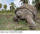 Aldabra gianttortoise (Aldabrachelys gigantea) Astove Atoll, Aldabra island group, Seychelles. Стоковое фото, фотограф David Tipling / Nature Picture Library / Фотобанк Лори
