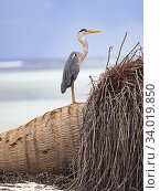 Купить «Grey heron (Ardea cinerea) on fallen palm on beach, Alphonse Atoll, Seychelles.», фото № 34019850, снято 12 июля 2020 г. (c) Nature Picture Library / Фотобанк Лори