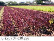 Farm field planted with red leaf lettuce. Стоковое фото, фотограф Яков Филимонов / Фотобанк Лори