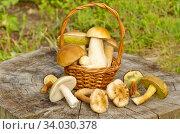 Различные съедобные грибы на старом пне. Стоковое фото, фотограф Елена Коромыслова / Фотобанк Лори