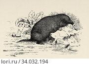 Star-nosed mole (Condylura cristata) species of soricomorphic mammal in the family Talpidae. Old engraved animal illustration 19th century. Стоковое фото, фотограф Jerónimo Alba / age Fotostock / Фотобанк Лори