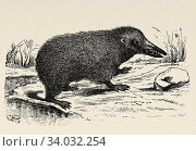 Tenreids (Tenrecidae), known as tenrecs, family of placental mammals of the order Afrosoricide (Tenrecomorpha). They live mainly in Madagascar. Old engraved animal illustration 19th century. Стоковое фото, фотограф Jerónimo Alba / age Fotostock / Фотобанк Лори