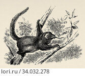 The silky or pygmy anthill (Cyclopes didactylus) species of anteater. Native to Mexico, Central and South America, family Cyclopedidae. Old engraved animal illustration 19th century. Стоковое фото, фотограф Jerónimo Alba / age Fotostock / Фотобанк Лори