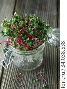 Купить «Close-up of radish microgreens - green leaves and purple stems. Sprouting Microgreens. Seed Germination at home. Vegan and healthy eating concept. Sprouted Radish Seeds, Micro greens. sprouts.», фото № 34038538, снято 26 ноября 2019 г. (c) Nataliia Zhekova / Фотобанк Лори