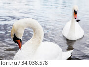Купить «Beautiful white swan with the family in swan lake, romance, seasonal postcard.», фото № 34038578, снято 18 августа 2017 г. (c) Nataliia Zhekova / Фотобанк Лори