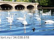 Beautiful white swan with the family in swan lake, romance, seasonal postcard. Стоковое фото, фотограф Nataliia Zhekova / Фотобанк Лори
