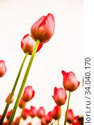 Red tulips over white. Стоковое фото, фотограф Фрибус Екатерина / Фотобанк Лори