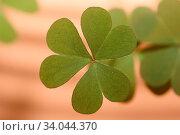 Ein dreiblättriges Kleeblatt, Hintergrund unscharf A three-leafed clover, background out of focus. Стоковое фото, фотограф Zoonar.com/Eric Hepp / easy Fotostock / Фотобанк Лори