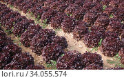 Купить «Closeup of ripe red leaf lettuce cultivars on large plantation in sunny day», видеоролик № 34055574, снято 18 января 2020 г. (c) Яков Филимонов / Фотобанк Лори