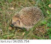 European hedgehog (Erinaceus europaeus) in green grass. Стоковое фото, фотограф Валерия Попова / Фотобанк Лори