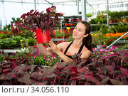 Happy female on plantation of Iresine Herbstii Brillantissima in her greenhouse. Стоковое фото, фотограф Яков Филимонов / Фотобанк Лори