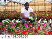 Купить «African american farmer checking potted pink periwinkles in greenhouse», фото № 34056550, снято 16 июля 2020 г. (c) Яков Филимонов / Фотобанк Лори