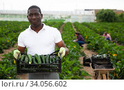 African-american worker collects zucchini in a box. Стоковое фото, фотограф Яков Филимонов / Фотобанк Лори
