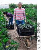 Hired worker transport zucchini in garden wheelbarrow. Стоковое фото, фотограф Яков Филимонов / Фотобанк Лори