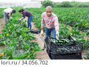 Купить «Hispanic man picking zucchini crop on vegetable plantation», фото № 34056702, снято 1 июня 2020 г. (c) Яков Филимонов / Фотобанк Лори