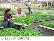 Купить «Latin farmer couple checking vegetable seedlings in greenhouse», фото № 34056742, снято 1 июня 2020 г. (c) Яков Филимонов / Фотобанк Лори