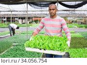 Latin american horticulturist carrying tray with lettuce seedlings. Стоковое фото, фотограф Яков Филимонов / Фотобанк Лори