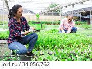 Купить «Hispanic female horticulturist checking eggplant seedlings in greenhouse», фото № 34056762, снято 1 июня 2020 г. (c) Яков Филимонов / Фотобанк Лори