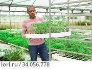 Купить «Latina man stacking crates with seedlings in greenhouse», фото № 34056778, снято 1 июня 2020 г. (c) Яков Филимонов / Фотобанк Лори