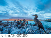 Купить «Flightless cormorant (Phalacrocorax harrisi) flock perched on the coast at dusk, Cape Douglas, Fernandina Island, Galapagos.», фото № 34057250, снято 13 июля 2020 г. (c) Nature Picture Library / Фотобанк Лори