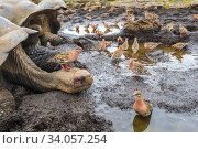 Купить «Galapagos dove (Zenadia galapagensis) flock at puddle, with one on head of Galapagos giant tortoise, (Chelonoidis darwini) Santiago Highlands, Galapagos.», фото № 34057254, снято 11 июля 2020 г. (c) Nature Picture Library / Фотобанк Лори