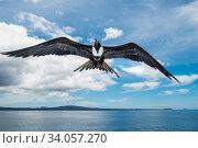 Купить «Magnificent frigatebird (Fregata magnificens) in flight, Rabida Island, Galapagos.», фото № 34057270, снято 12 июля 2020 г. (c) Nature Picture Library / Фотобанк Лори