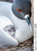 Купить «Swallow-tailed gull (Creagrus furcatus) resting with chick nestled in wing, Plazas Island, Galapagos.», фото № 34057286, снято 30 июня 2020 г. (c) Nature Picture Library / Фотобанк Лори