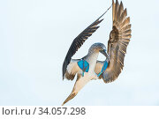 Купить «Blue-footed booby (Sula nebouxii) landing, South coast, Santa Cruz Island, Galapagos,», фото № 34057298, снято 13 июля 2020 г. (c) Nature Picture Library / Фотобанк Лори