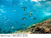 Купить «Galapagos penguins (Spheniscus mendiculus) underwater with shoal of fish, Tagus Cove, Isabela Island, Galapagos,», фото № 34057310, снято 13 июля 2020 г. (c) Nature Picture Library / Фотобанк Лори