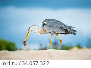 Купить «Great blue heron (Ardea herodias) with hatchling sea turtle prey, Las Bachas, Santa Cruz Island, Galapagos,», фото № 34057322, снято 12 июля 2020 г. (c) Nature Picture Library / Фотобанк Лори