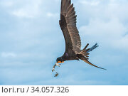 Magnificent frigatebird (Fregata magnificens) in flight, with beakful of hatchling sea turtles, with some dropping out of beak. Las Bachas, Santa Cruz Island, Galapagos, Стоковое фото, фотограф Tui De Roy / Nature Picture Library / Фотобанк Лори