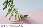 Купить «Smooth slow movement of a fern branch with green foliage touching a duotone pink blue background. Shadows from branch. Full HD video, 240fps, 1080p.», видеоролик № 34057442, снято 4 июля 2020 г. (c) Ярослав Данильченко / Фотобанк Лори