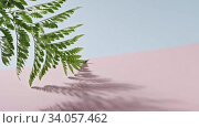 Smooth slow movement of a fern branch with green foliage touching a duotone pink blue background. Shadows from branch. Full HD video, 240fps, 1080p. Стоковое видео, видеограф Ярослав Данильченко / Фотобанк Лори