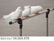 Three beautiful white pigeons sit on a stand. Стоковое фото, фотограф Zoonar.com/Alexander Strela / easy Fotostock / Фотобанк Лори