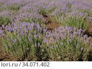 Купить «Background of flowering Lavandula (Lavandula spica).», фото № 34071402, снято 19 июня 2020 г. (c) Некрасов Андрей / Фотобанк Лори