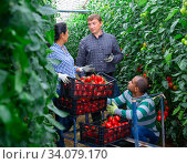 Купить «Farmers harvesting tomatoes in greenhouse, talking during break», фото № 34079170, снято 24 июня 2020 г. (c) Яков Филимонов / Фотобанк Лори