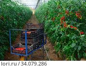 Купить «Plantation of red tomatoes in hothouse during harvest», фото № 34079286, снято 6 августа 2020 г. (c) Яков Филимонов / Фотобанк Лори