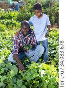 Son teenager helps father harvest cucumbers on plantation. Стоковое фото, фотограф Яков Филимонов / Фотобанк Лори