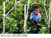Купить «African-american teenager boy harvesting bell peppers on plantation», фото № 34083686, снято 7 августа 2020 г. (c) Яков Филимонов / Фотобанк Лори