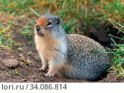 Купить «Columbia Ground Squirrel (Urocitellus columbianus) on a meadow after rain, Waterton Lakes National Park, Alberta, Canada», фото № 34086814, снято 10 июля 2020 г. (c) easy Fotostock / Фотобанк Лори