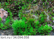 Купить «Closeup old Stone Overgrown with Green Moss in forest», фото № 34094058, снято 7 августа 2020 г. (c) easy Fotostock / Фотобанк Лори
