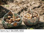 Купить «Organic Brown Potatoes In Basket On Ground Of Vegetable-Garden. Autumn Harvest Potatoes.», фото № 34095950, снято 17 августа 2018 г. (c) easy Fotostock / Фотобанк Лори