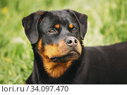 Funny Young Black Rottweiler Metzgerhund Puppy Dog Sit In Green Grass In Summer Park Outdoor. Close Up Portrait. Стоковое фото, фотограф Ryhor Bruyeu / easy Fotostock / Фотобанк Лори