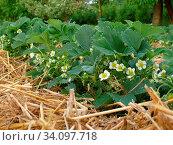 Blühende Erdbeerbüsche in einer Reihe. Fokus auf die vorderste Pflanze. Стоковое фото, фотограф Zoonar.com/Helga Mahler / easy Fotostock / Фотобанк Лори