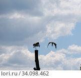 Купить «Два аиста», эксклюзивное фото № 34098462, снято 24 июня 2020 г. (c) Дмитрий Неумоин / Фотобанк Лори