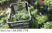 Купить «Hands of skilled farm worker harvesting organic arugula in sunny day», видеоролик № 34099774, снято 2 марта 2020 г. (c) Яков Филимонов / Фотобанк Лори