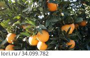 Купить «Closeup of green tangerines trees with oranges outdoor», видеоролик № 34099782, снято 14 января 2020 г. (c) Яков Филимонов / Фотобанк Лори